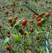 Sonoran Chiltepin Hot Peppers HP453-10_Base
