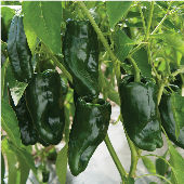 Tiburon Hot Peppers HP1031-10