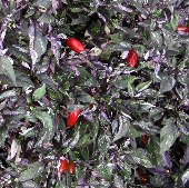 Variegata Hot Peppers HP251-20_Base