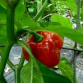 West Indian Red Hot Peppers HP885-10_Base