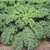 Dwarf Siberian Improved Kale KL4-100