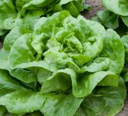 Buttercrunch Lettuce LC5-100_Base