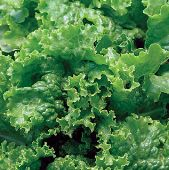 Green Ice Lettuce LC29-100_Base