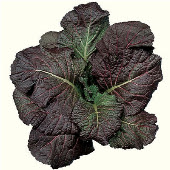Giant Red Mustard MU4-100_Base