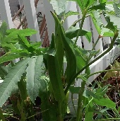 Baby Bubba Okra OK32-10_Base