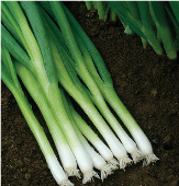 Evergreen White Bunching Onions ON25-100_Base