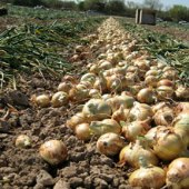 Texas Grano 1015Y Supersweet Onions ON52-100_Base