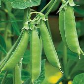 Sugar Ann Snap Peas PE6-50_Base