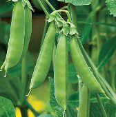 Sugar Snap Peas PE17-50_Base