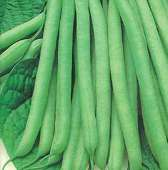 Kentucky Wonder 191 Pole Beans BN102-50_Base