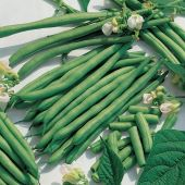 Kentucky Blue Pole Beans PVP BN54-50