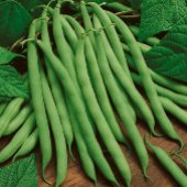 Kentucky Wonder Pole Beans BN5-50_Base