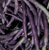 Louisiana Purple Pod Pole Beans BN108-25_Base