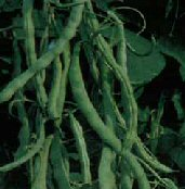McCaslan Pole Beans BN39-50_Base