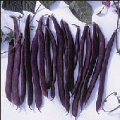 Purple Podded Pole Beans BN91-50
