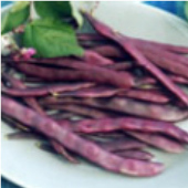 Trionfo Violetto Pole Beans BN103-50_Base