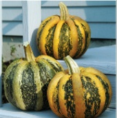 American Tondo Pumpkins PM56-20_Base