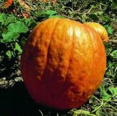 Big Moon Pumpkins PM15-5_Base