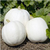 Casper Pumpkins PM30-10_Base