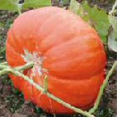 Cinderella Pumpkins PM26-10_Base