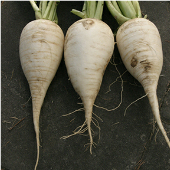 German Beer Radishes RD39-50