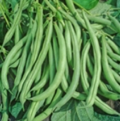 Mountaineer Half Runner Pole Beans BN55-50