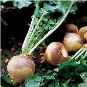 American Purple Top Rutabaga RU1-100_Base