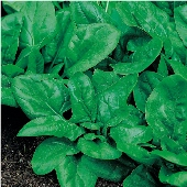 Matador Viking Spinach SN11-50_Base