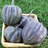 Black Bellota Squash SQ112-20