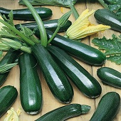 Dark Green Zucchini Squash SQ47-20_Base