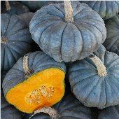 Queensland Blue Squash SQ111-20