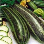 Vegetable Marrow Squash (Green) SQ87-20_Base