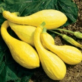 Yellow Crookneck Squash SQ23-20_Base