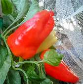 Albaregia Sweet Peppers SP108-10