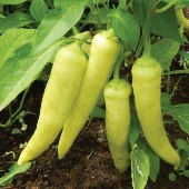 Banana Sweet Peppers SP181-20_Base