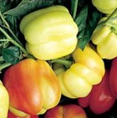 Blushing Beauty Sweet Peppers SP12-10_Base