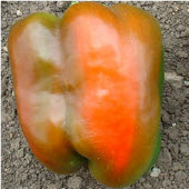 CalWonder Sweet Peppers SP30-20_Base
