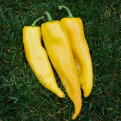 Corno di Toro Sweet Peppers (Yellow) SP19-20_Base