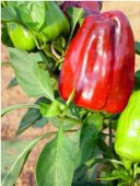 Dolmalic Beber Sweet Peppers SP145-10