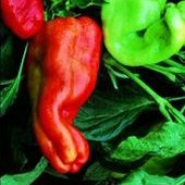 Giant Aconcagua Sweet Peppers SP28-20_Base