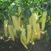 Gold Rush Sweet Peppers SP378-20_Base