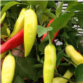 Hungarian Sweet Wax Peppers SP125-20_Base