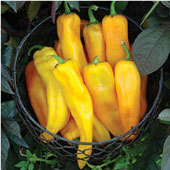 Mama Mia Giallo Sweet Peppers SP335-10_Base