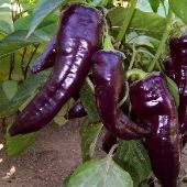 Marconi Sweet Peppers (Purple) SP110-10