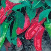 Marconi Sweet Peppers (Red) SP44-20_Base