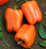 Orange Blaze Sweet Peppers SP347-10_Base
