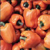 Orange Bell Sweet Peppers SP193-20_Base