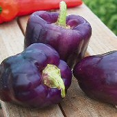 Purple Star Sweet Peppers SP263-20_Base