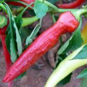 Sweet Salad Peppers (Type 1) SP299-20