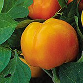Tangerine Pimiento Sweet Peppers SP259-20